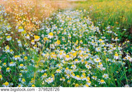 Blooming Chamomile In The Field. Chamomile Flowers On A Meadow In Summer, Selective Focus.