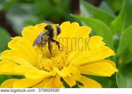one big old bumblebee collects pollen from a yellow Cynia flower, close-up, background selective foc