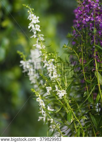 Forget Me Not  Angelonia Goyazensis Benth, Digitalis Solicariifolia Name White And Purple Flower Blo