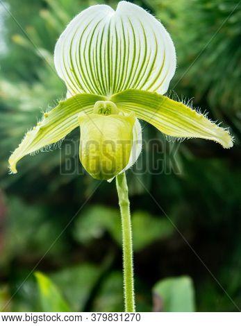 Green Lady's-slipper Orchid, Single Flower With Stalk (cypripedium Calceolus), Portrait Close-up Vie