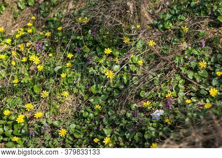 Many Yellow Flowers In A Forest Glade. Spring Breeze. First Wildflowers.