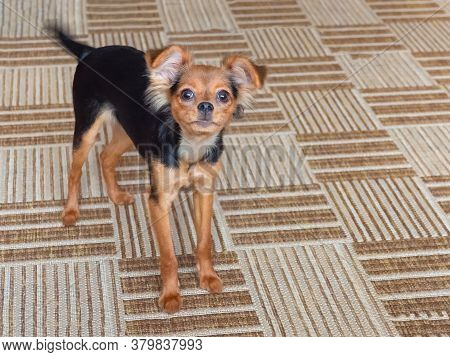 Toy Terrier. Russian Toy Terrier On A Brown Carpet.
