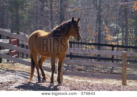 Arabian Horse At Ease