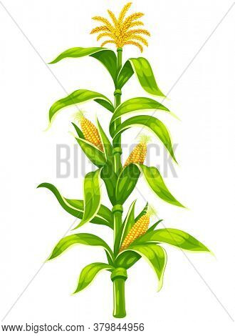 Set of ripe maize corncobs with yellow corns ears and green leaves on plant stem set, vegetable isolated on white transparent background. Ripe corn vegetables organic food. 3D illustration.