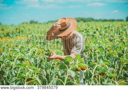 Mature Man At Field, Lifestyle Older Men. Older Senior Man At Sunflowers Field, Farmer At Meadow