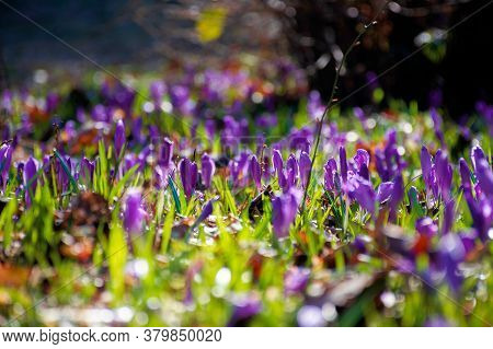 Purple Crocus Flowers On The Forest Glade. Beautiful Nature Scenery On A Sunny Day In Springtime