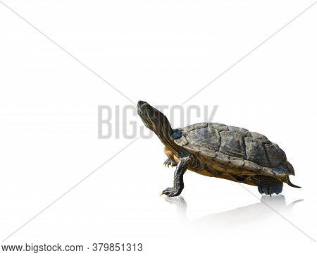 Red-eared Slider Turtle Trachemys Scripta Elegans, Isolated On A White Background, Space For Text, B