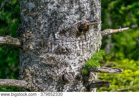 Conifer Tree Trunk With Short Dead Branches