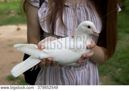 An Old White Sick Pigeon With Pigeon Pox, Growths And Sores On Its Beak And Eyes, A Girl Holding A P