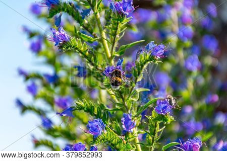 Bumblebee At Violet Blossom Of A Wildflower