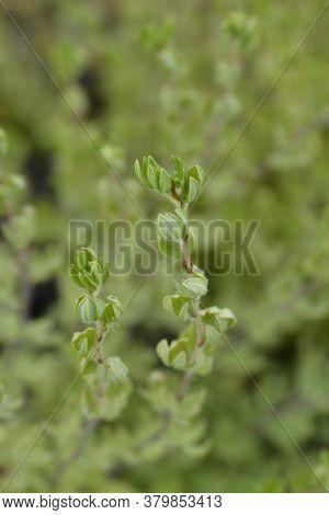 White Shrubby Cinquefoil Leaves - Latin Name - Potentilla Fruticosa
