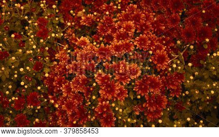 Red Daisy Flower. Flower In Garden At Sunny Summer Or Spring Day.  Beautiful Flower In Tropical Gard