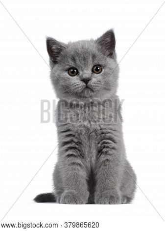 Cute Blue British Shorthair Kitten, Sitting Front View. Looking At Camera With Round Brown Eyes. Iso