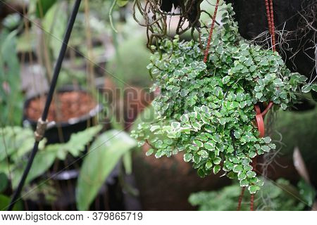 Close Up Of Potted Plants Of Creeping Fig Ficus Pumila With Small Green And White Leaves. Ficus Pumi