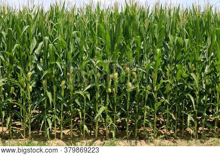 Natural Green Tall Corn Crop Line Close-up View In Bright Sunlight With Deep Contrasting Shadows And