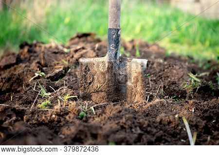 Shovel Stuck In The Ground On The Garden Bed. Gardening Tool And Equipment. Garden Work Concept. Fro