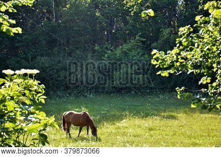 Grazing Brown Horse A Beautiful Summer Day In A Sunlit Pastureland