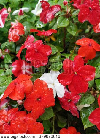 Busy Lizzie (british Isles) Flowers. Impatiens Walleriana (syn. Impatiens Sultanii), Also Known As B