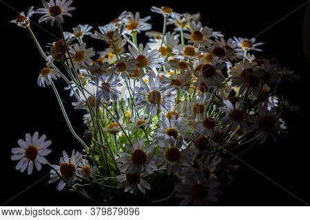 Bouquet Of Daisies In A Vase On A Black Background. Field Camomile. Beautiful Card. Summer Flowers.