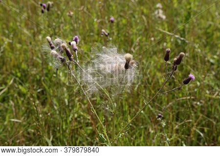 The Wind Carries Ripe Burdock Seeds Into The Field
