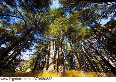 Bottom View Of Crowns Of Lebanon Cedars With Blue Sky. The Cedars Of God Grove In Qadisha Valley On