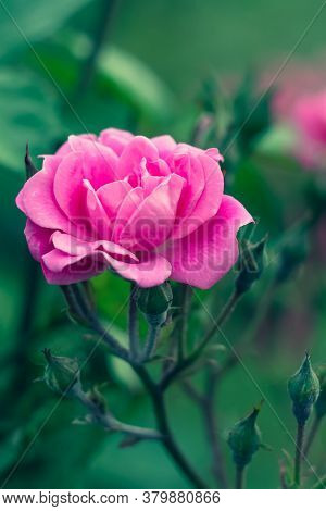 Single Pink Rose In The Garden. Pink Flower, Nature Background. Bright Floral Wallpaper. Selective F