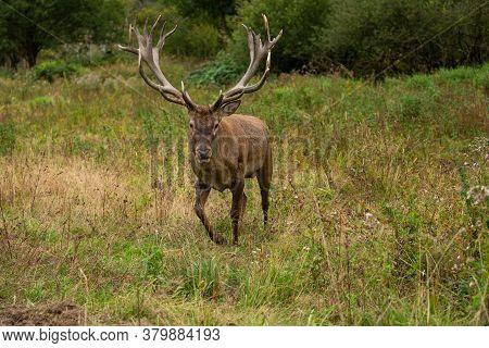 Red Deer In The Nature Habitat During The Deer Rut