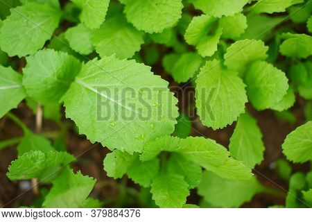 Top View Of Cantonese Green Lettuce In Garden. Agriculture Organic In Asia.
