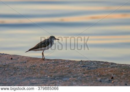 Common Sandpiper Water Bird(actitis Hypoleucos)wildlife Scene Nature