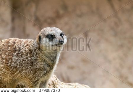 Meerkat Portrait Close Up (suricata Suricatta) Wildlife
