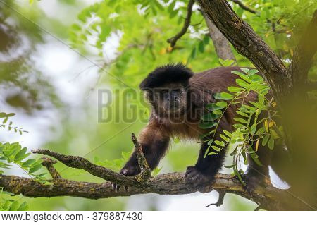 Tufted Capuchin On Tree (cebus Apella) Wildlife