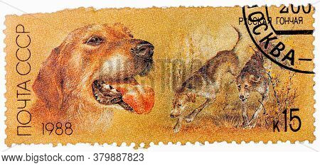 Ussr - Circa 1988: A Stamp Printed In Ussr, Shows Russian Retrievers, Series Hunting Dogs, Circa 198