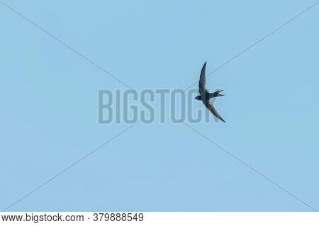 Common Swift (apus Apus) In Flight Blue Sky