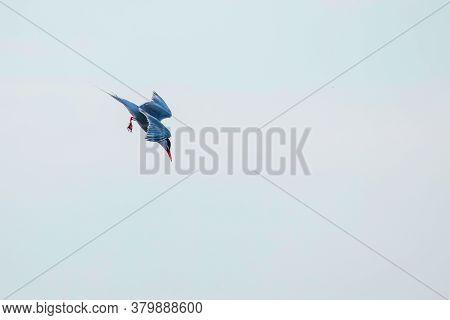 Whiskered Tern In Flight (chlidonias Hybridus)
