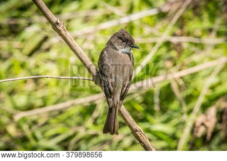 An Eastern Phoebe Bird Resting On A Branch Posing Showing Its Backside On A Bright Sunny Day In Spri