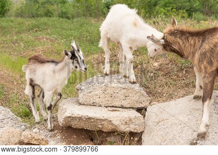 Goat Cubs Playing On The Rocks.