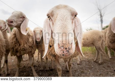 Close-up Of White A Sheep That Looking In Front Of The Camera. Concept Of Diversity, Acceptance And