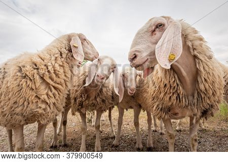 Close-up Of White Sheeps That Looking In Front Of The Camera. Concept Of Diversity, Acceptance And C