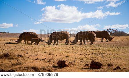 Four Rhinos And One Baby Eating Grass In The Savannah. Rhino Family. Safari Wildlife. Wild Animal In