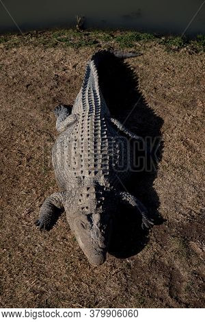 Large Nile Crocodile Lie On The Ground At A Crocodile Farm In South Africa. Crocodylus Niloticus.