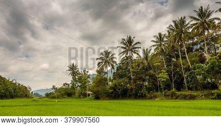Palm Trees And A Lush Green Rice Paddy On Samosir Island, Lake Toba, Sumatra, Indonesia