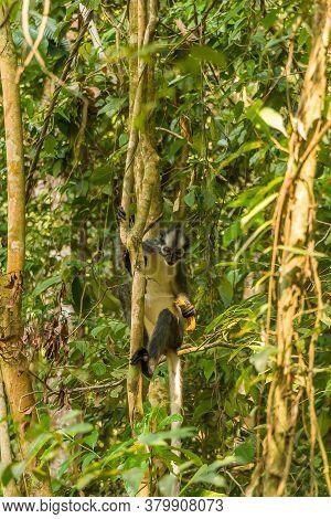 A Thomas Langur, Leaf Monkey, Feeding In A Tree In Gunung Leuser, Bukit Lawang National Park, Sumatr