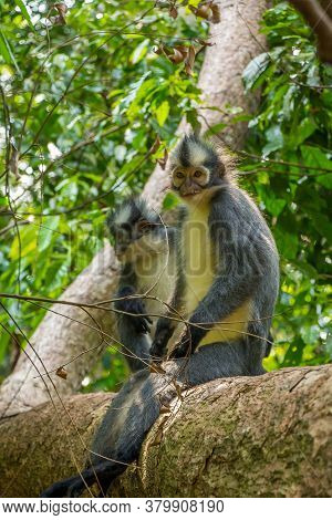 A Thomas Langur, Leaf Monkey, Siting In A Tree In Gunung Leuser, Bukit Lawang National Park, Sumatra