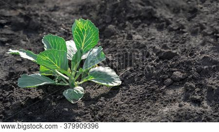 Growing Cabbage In The Garden In The Open Air, White Cabbage Bushes On The Black Ground.