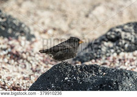 Galapagos Darwin Finches. Small Ground Finch seen on Galapagos Islands.