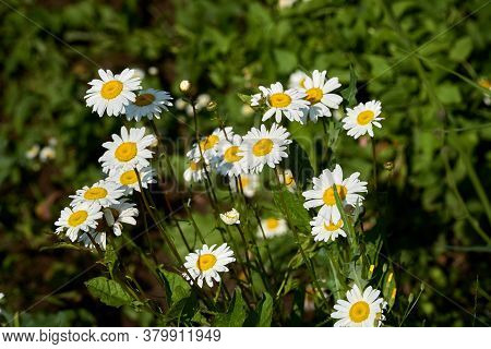 Flowering. Chamomile. Blooming Chamomile Bush, Chamomile Flowers On A Meadow In Summer. Selective Fo