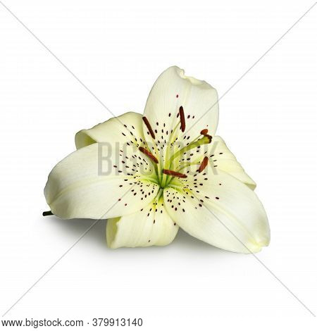 White Asiatic Lily Flower Isolated On White Background