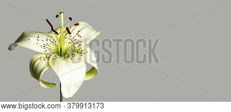 White Asiatic Lily Flower Isolated On Grey Background With Copy Space