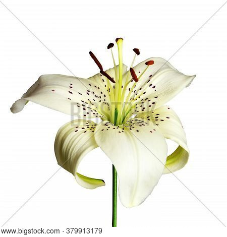 White Asiatic Lily Isolated On White Background