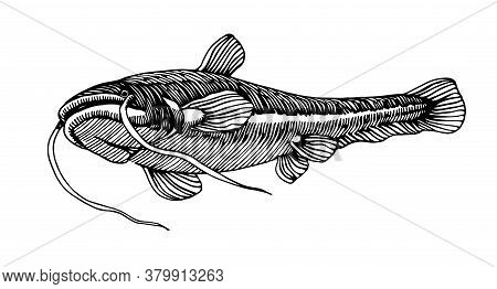 Freshwater Catfish, Commercial River Fish, Delicious Seafood, Engraving, Sketch, For Logo Or Emblem,